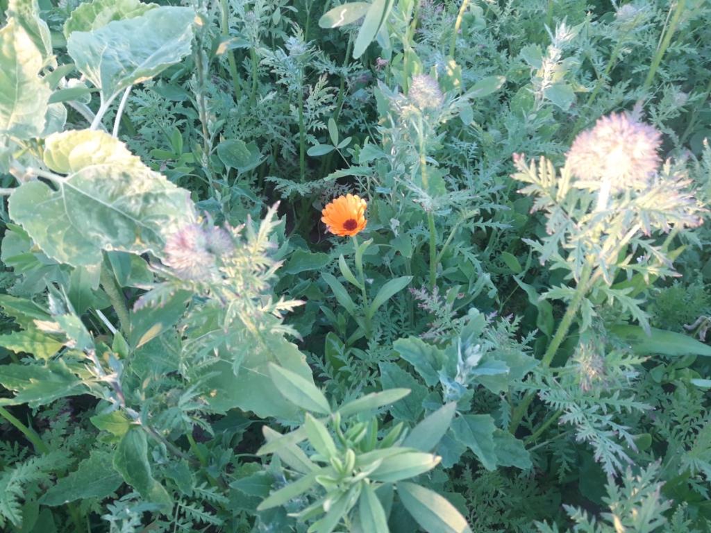 Erste Ringelblumen-Blüten auf der Blühfläche 2020 der Blütenpateschaften