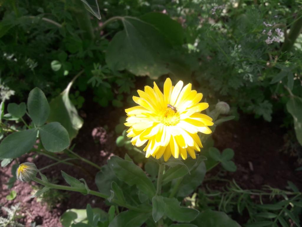 Gelbe Ringelblume auf unseren Blühflächen mit Insekt