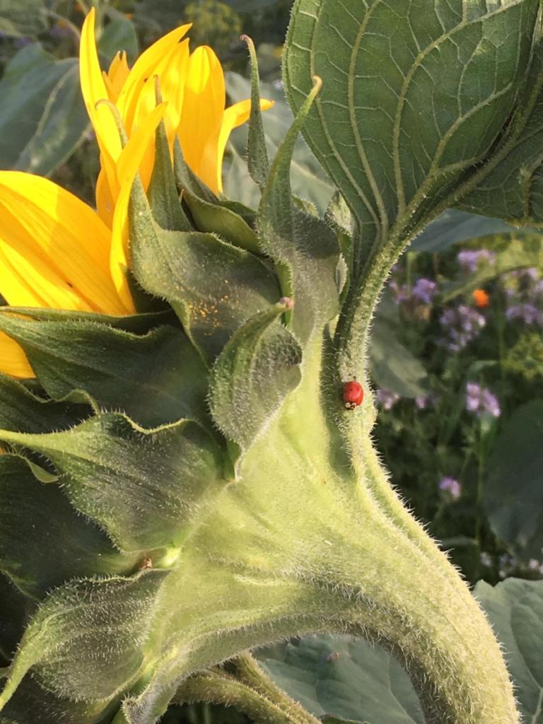 Sonnenblume mit Marienkäfer auf Blühfläche vom Spargelhof HIrsch