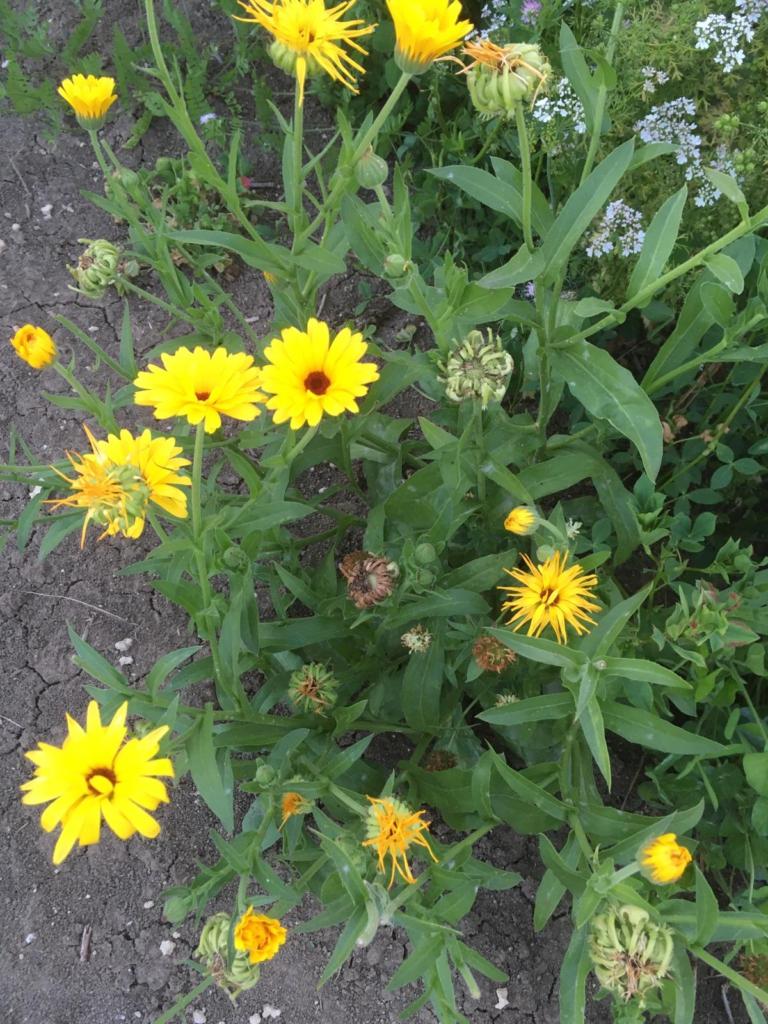 Ringelblumen in unterschiedlichen Stadien auf den Blühflächen unserer Blütenpat*innen